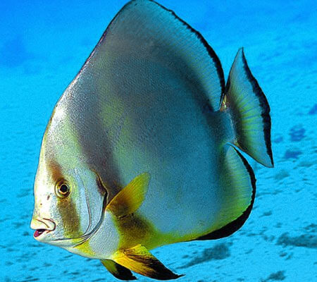 Bat Fish Pattaya Sea Life