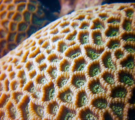 Boudler Porites sp - Pattaya Coral Guide