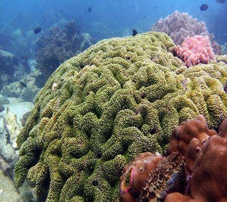 Brain Corals Polyps - Pattaya Coral Guide