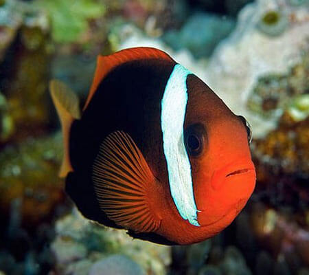 Cinnimon Clown Fish Pattaya Sea Life