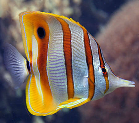 Copper band Butterfly Fish Pattaya Sea Life
