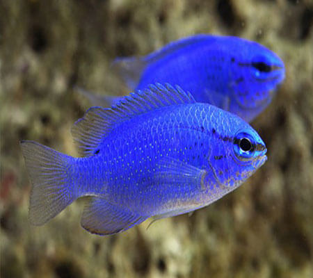 Electric Blue Damsel Fish Pattaya Sea Life