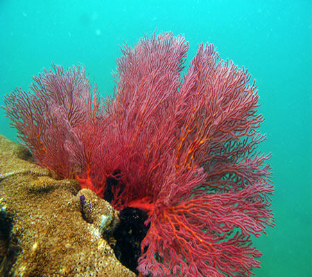 Gorgonian Sea Fan - Pattaya Coral Guide