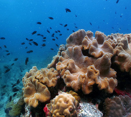 Leather Coral - Pattaya Coral Guide