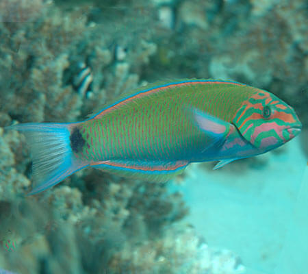 Moon Wrasse Fish Pattaya Sea Life